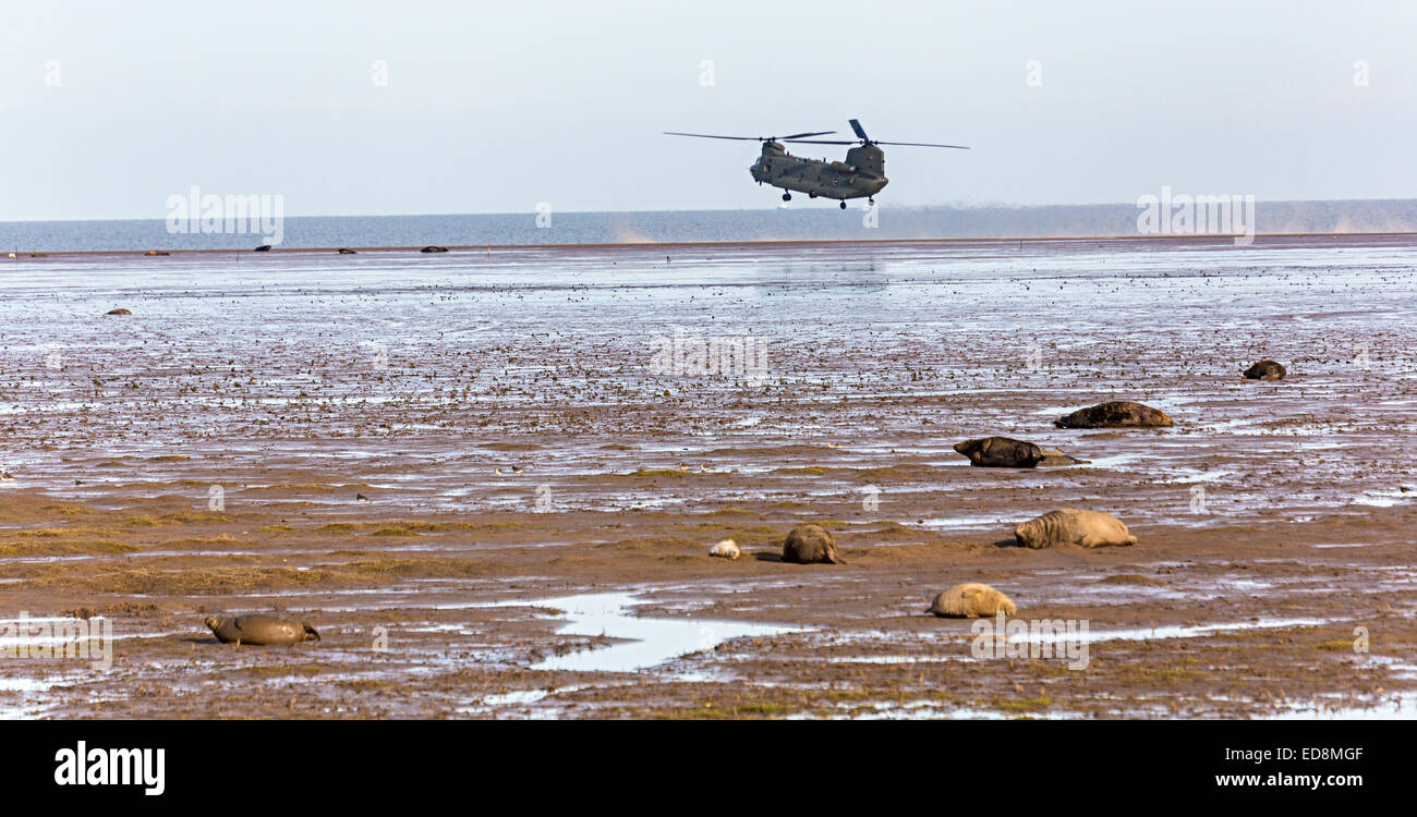 Military helicopter on training exercise with Grey seals, Halichoerus grypus, Donna Nook national nature reserve, - Stock Image