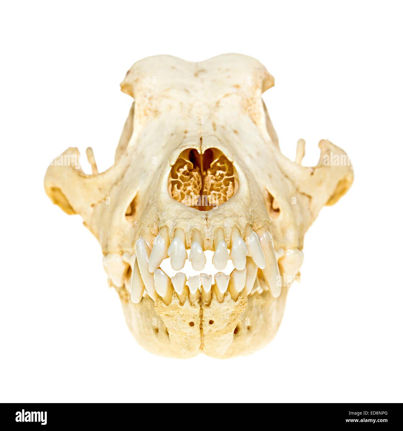 Dog Skull Anatomy Stock Photos & Dog Skull Anatomy Stock Images - Alamy