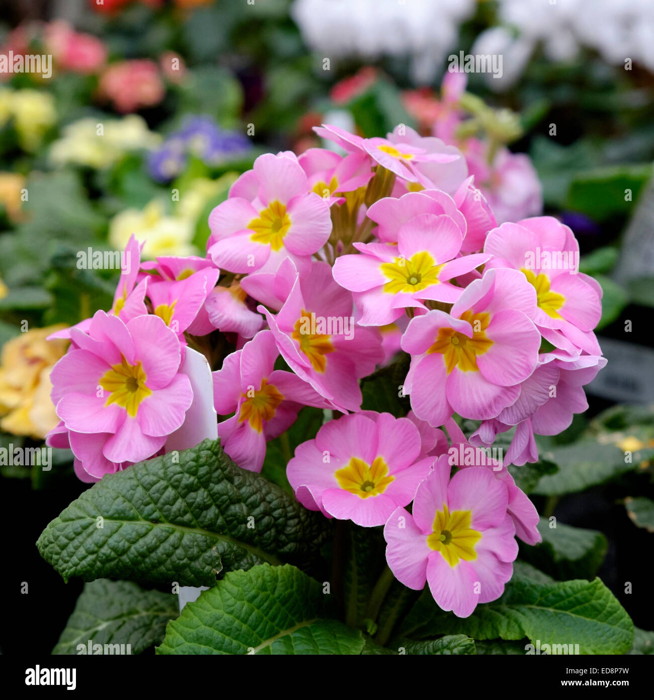 Melanium or pink pansy flowers in a small grouping stock photo melanium or pink pansy flowers in a small grouping mightylinksfo
