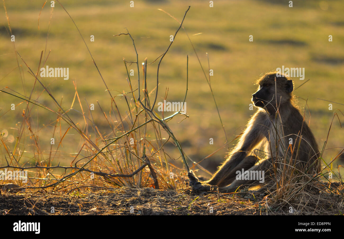 Contemplating Baboon in Zambia at Dusk - Stock Image
