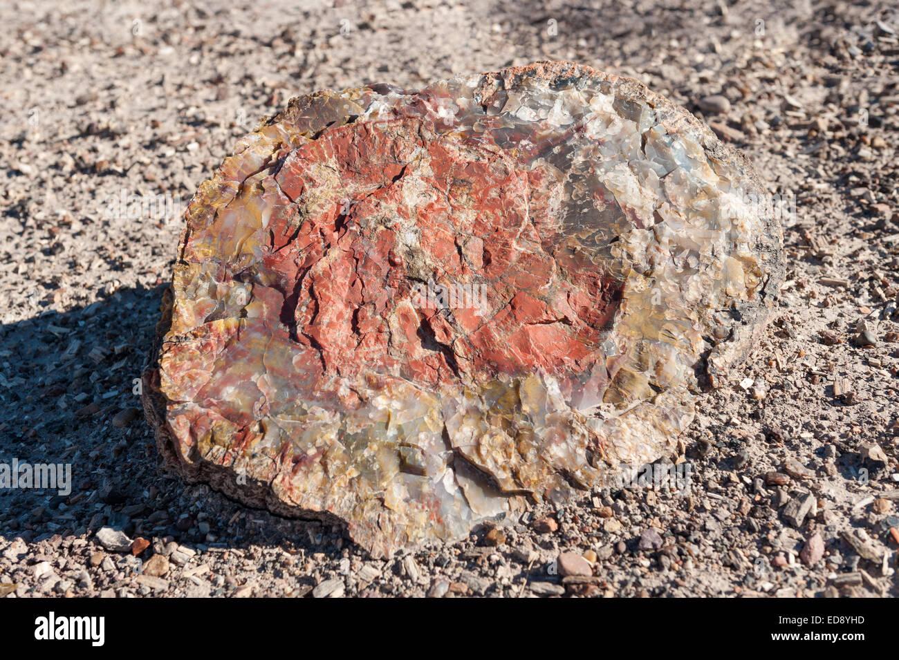 Segment of colourful petrified wood, Petrified Forest National Park, Arizona, US - Stock Image