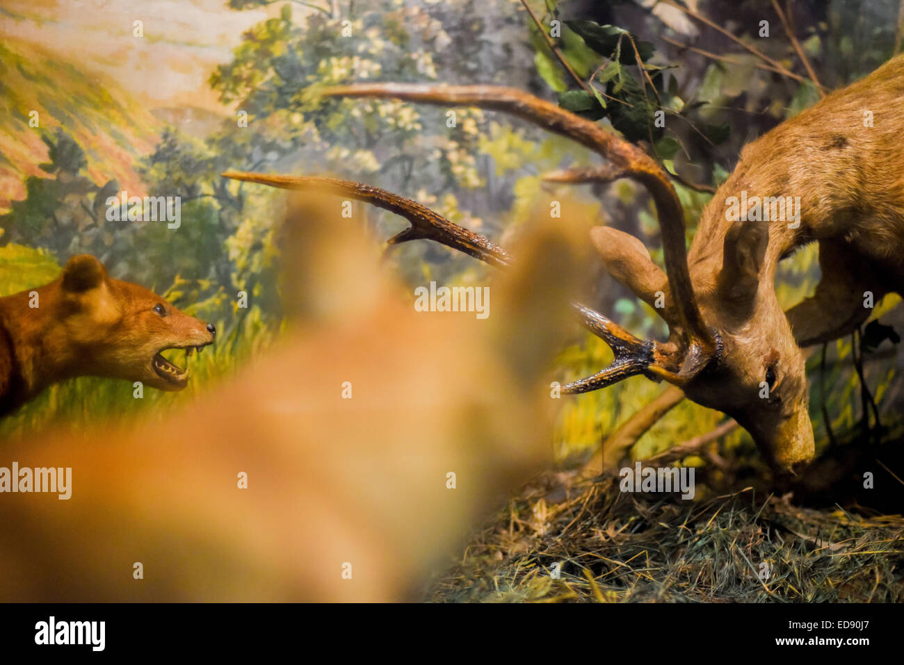 Diorama of Asiatic wild dogs (Cuon alpinus) hunting a deer at Zoology Museum, Bogor. - Stock Image