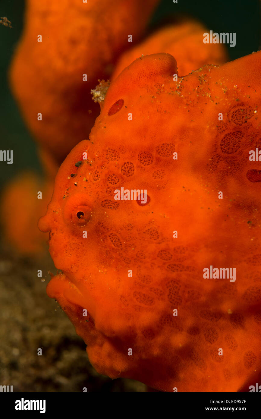 Orange Frog Fish Stock Photos & Orange Frog Fish Stock Images - Alamy