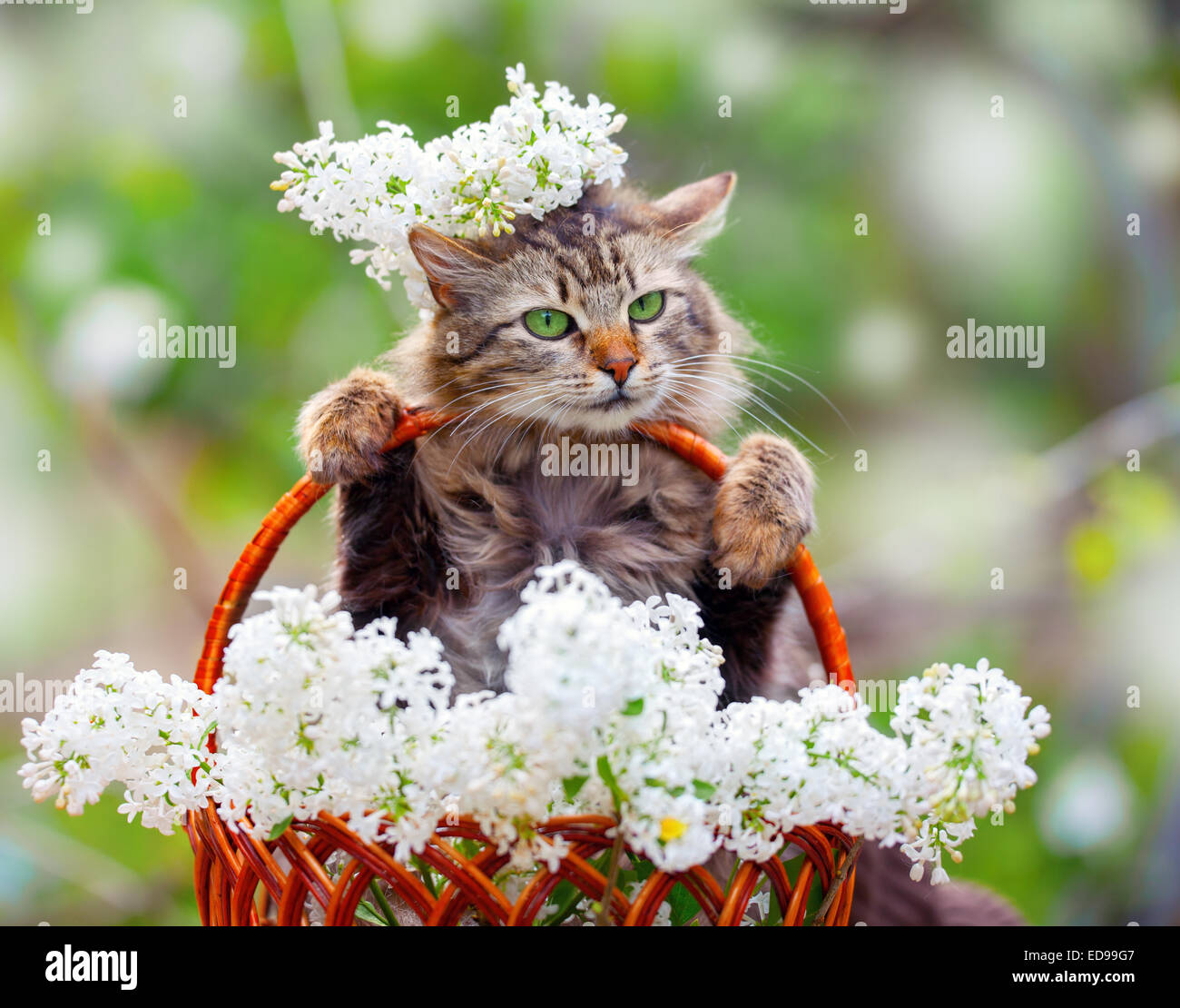 Cute Cat In A Basket With White Lilac Flowers Stock Photo