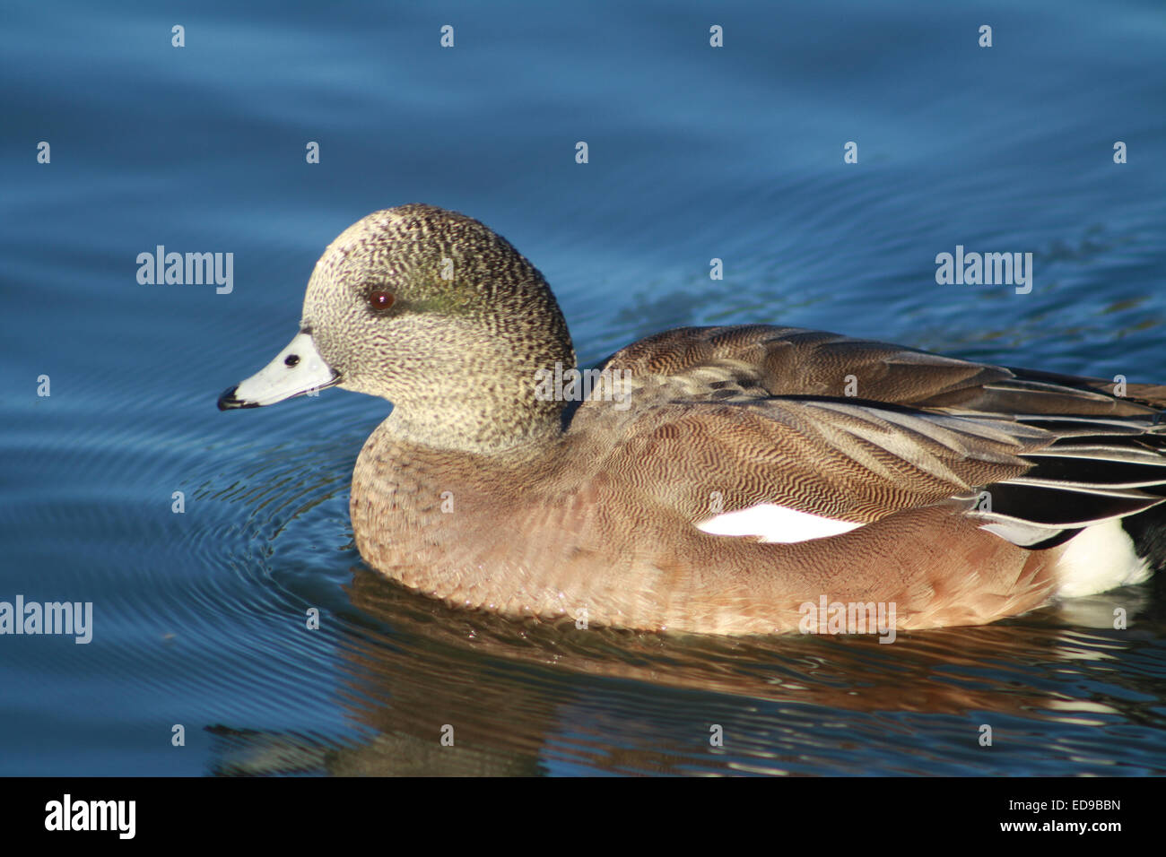 Juvenile Male American Widgeon Duck Swimming on Pond in Southern California Stock Photo