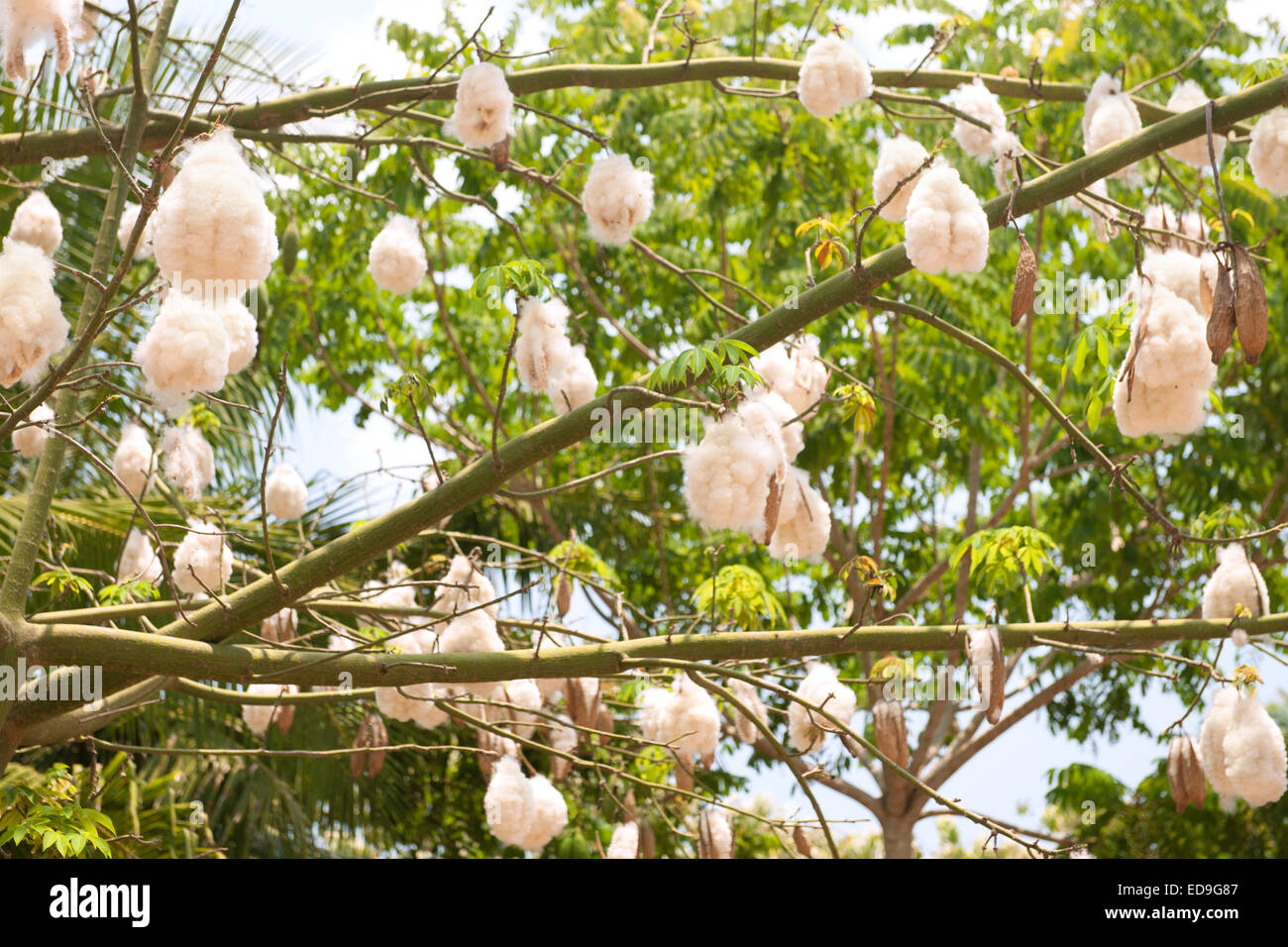 Kapok Tree Stock Photos & Kapok Tree Stock Images - Alamy