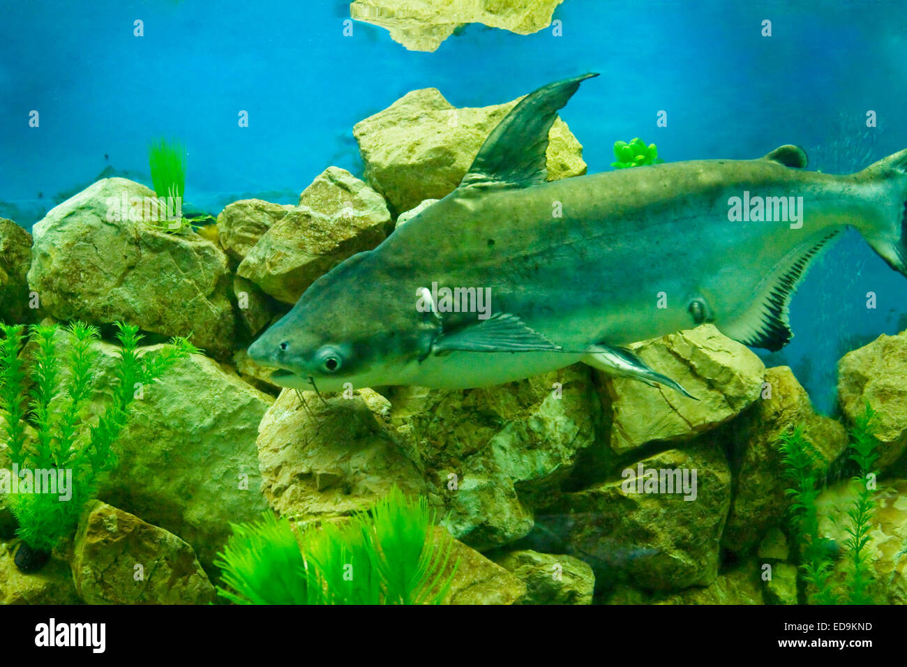 Tropical fish Pangasius hypophthalmus, lives in South-Eastern Asia. - Stock Image