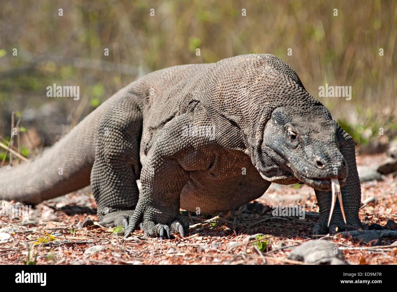 Komodo dragon in the Komodo National Park on Komodo island, East Nusa Tenggara, Indonesia. - Stock Image