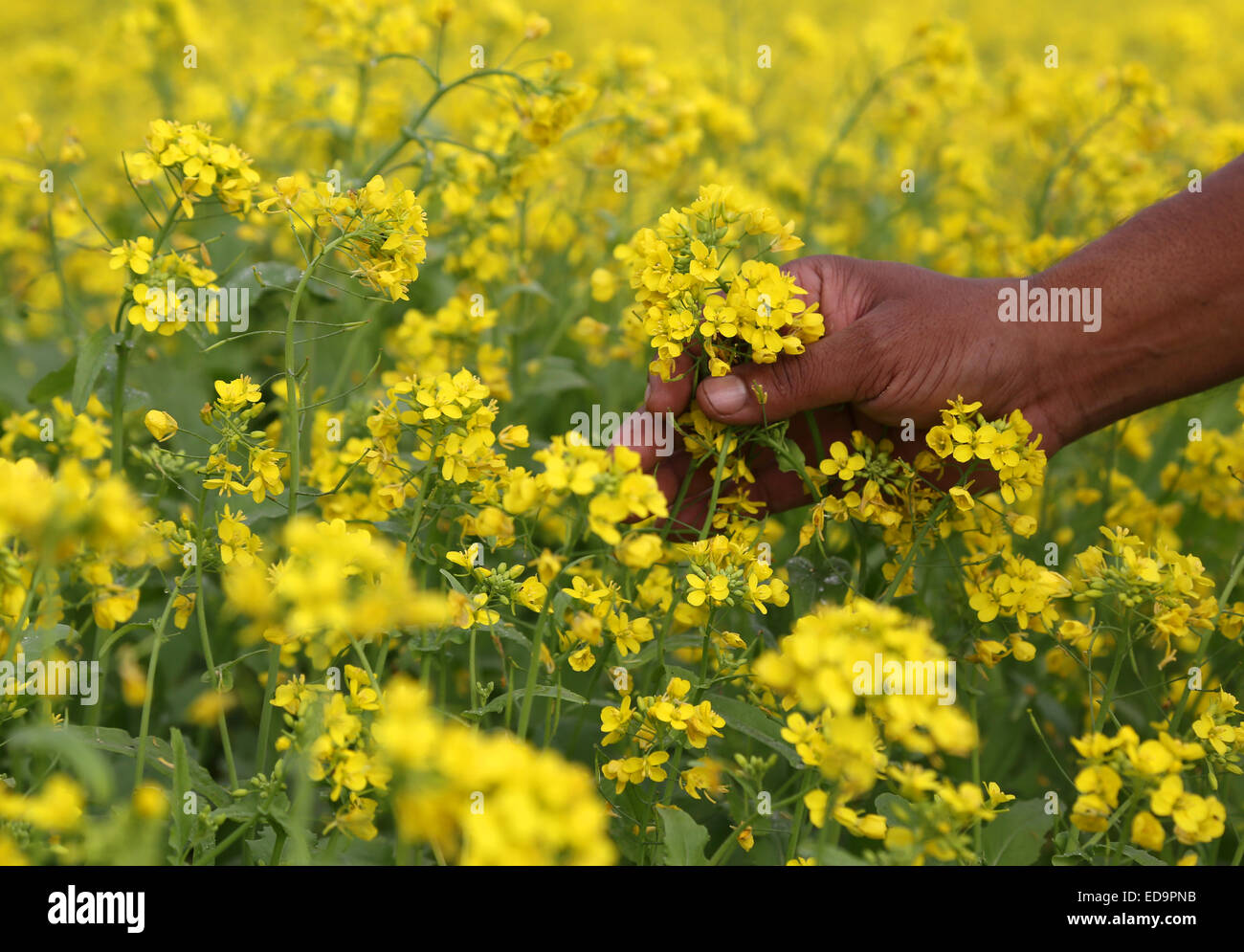 Hand holding yellow flowers in a mustard field stock photo 77047415 hand holding yellow flowers in a mustard field mightylinksfo