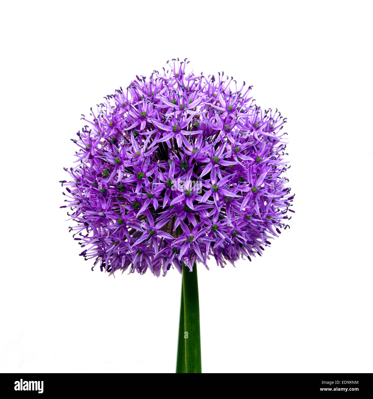 Allium plant against white background - Stock Image
