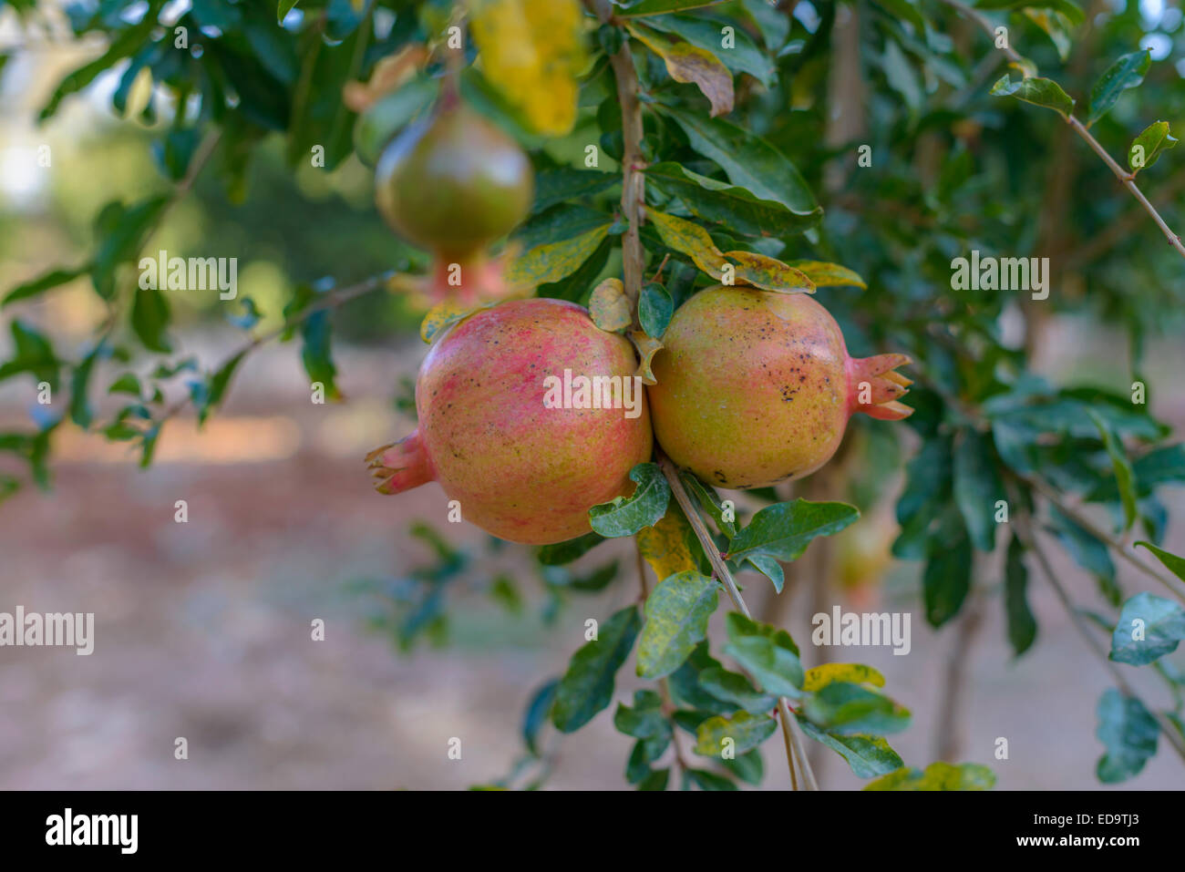 Pomegranate tree with ripe fruit ready for harvest - Stock Image