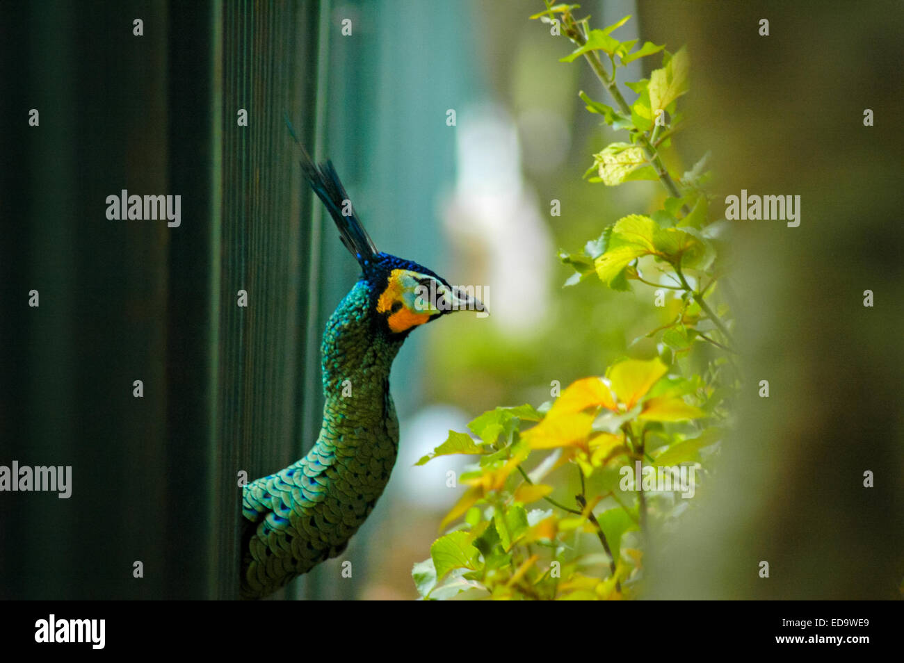 Green peafowl (Pavo muticus) releases its head out of the cage. - Stock Image