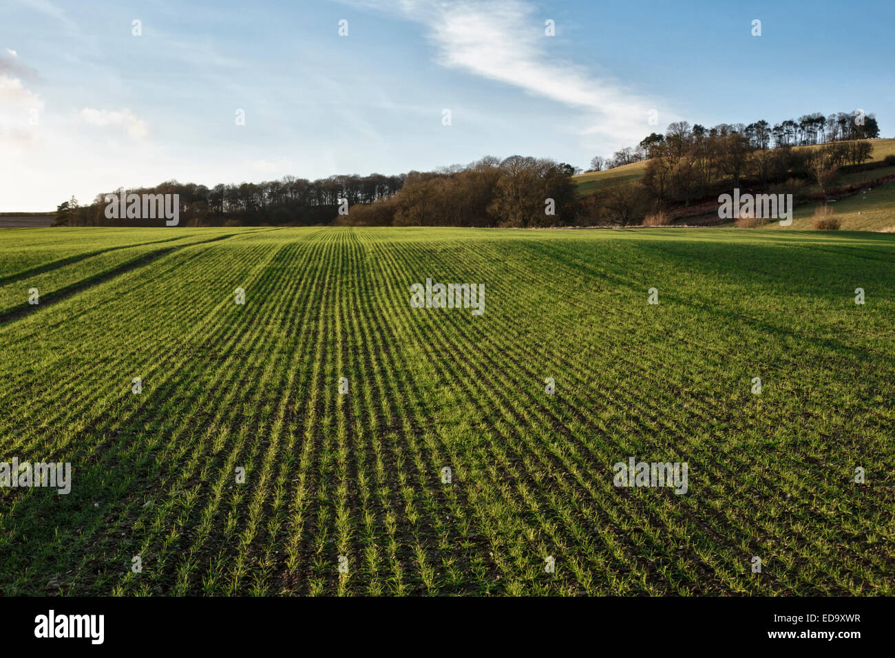 Shropshire, UK. A field of young winter wheat - Stock Image