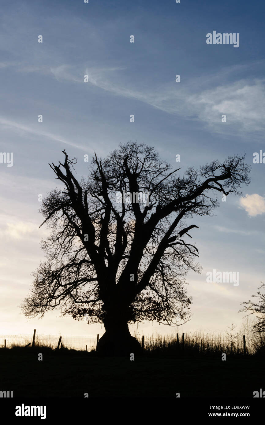 Shropshire, UK. An old oak tree in winter silhouetted against the twilight - Stock Image