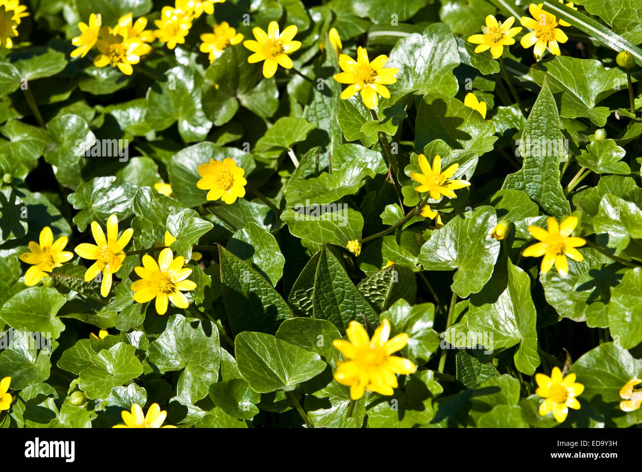 First Spring Flowers Cowslip Latin Name Caltha Horizontal Stock
