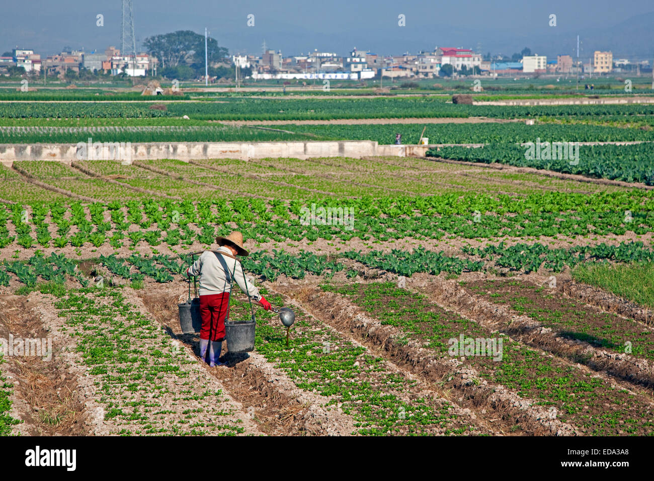 Chinese farmer fertilising crop by pouring out liquid manure from buckets by hand, Yunnan province, China Stock Photo