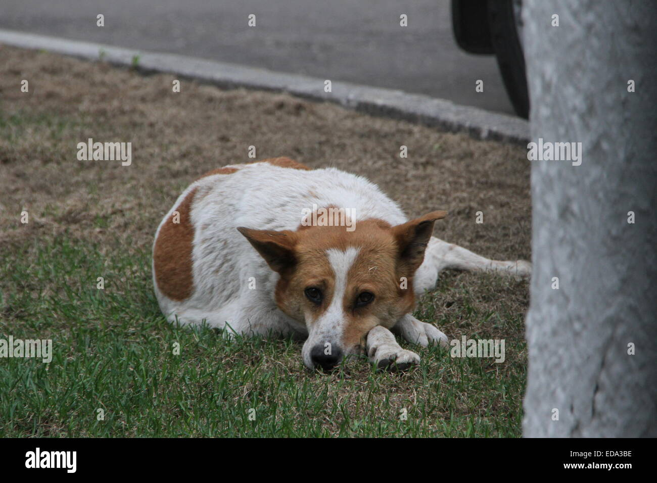 Homeless purebred dog on the street, day - Stock Image