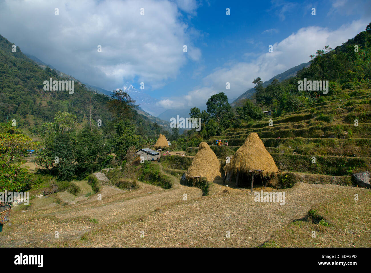 farming near mountain village of Ghandruk in the Modi Khola Valley at around 2000 metres Annapurna in background - Stock Image