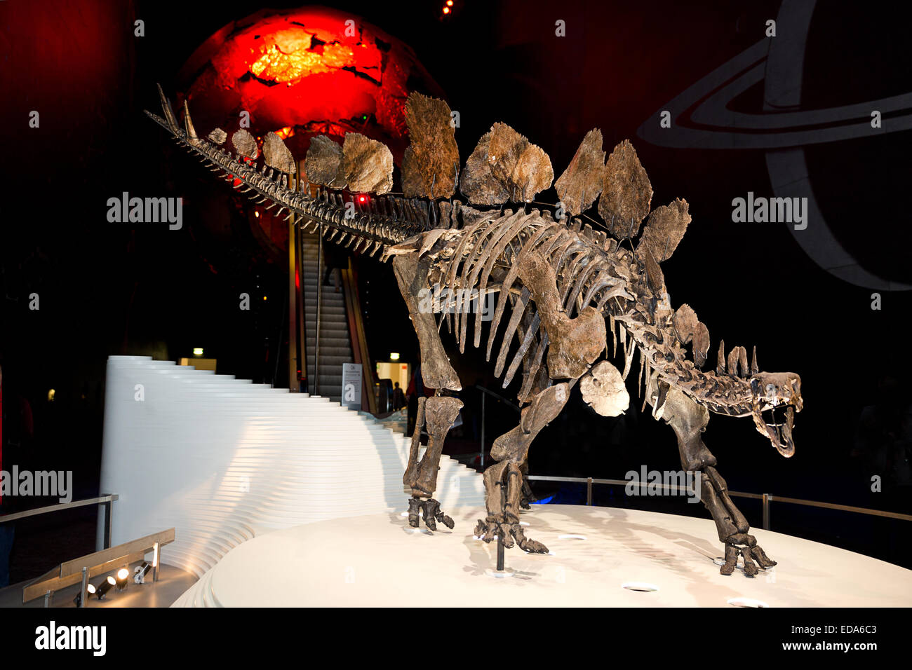 Sophie the Stegosaurus at the Natural History Museum in London. - Stock Image