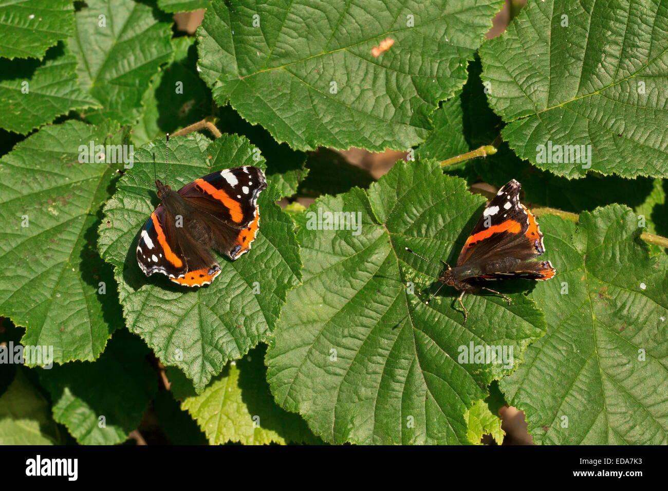 Red Admiral butterflies, Vanessa atalanta, basking in autumn sunshine on hazel leaves. - Stock Image