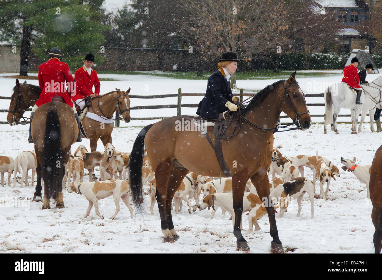 As the bugle sounds, The Essex Hunt Club sends horses and hounds racing into the meadowland for an annual Thanksgiving - Stock Image