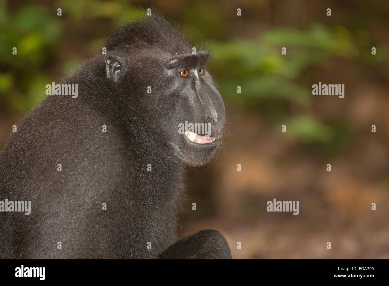 Close-up on Black crested macaque - Stock Image