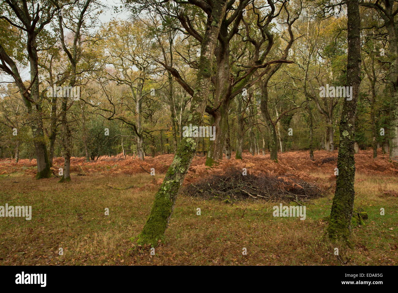 Langley Wood NNR oak woodland in autumn. Wilts. - Stock Image