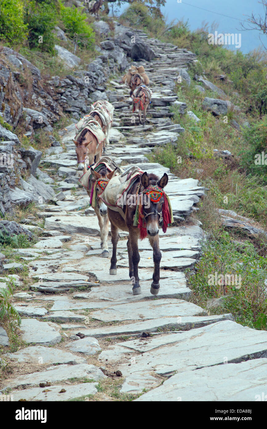 Mule train coming back from Ghandruk Modi Khola Valley Nepal - Stock Image