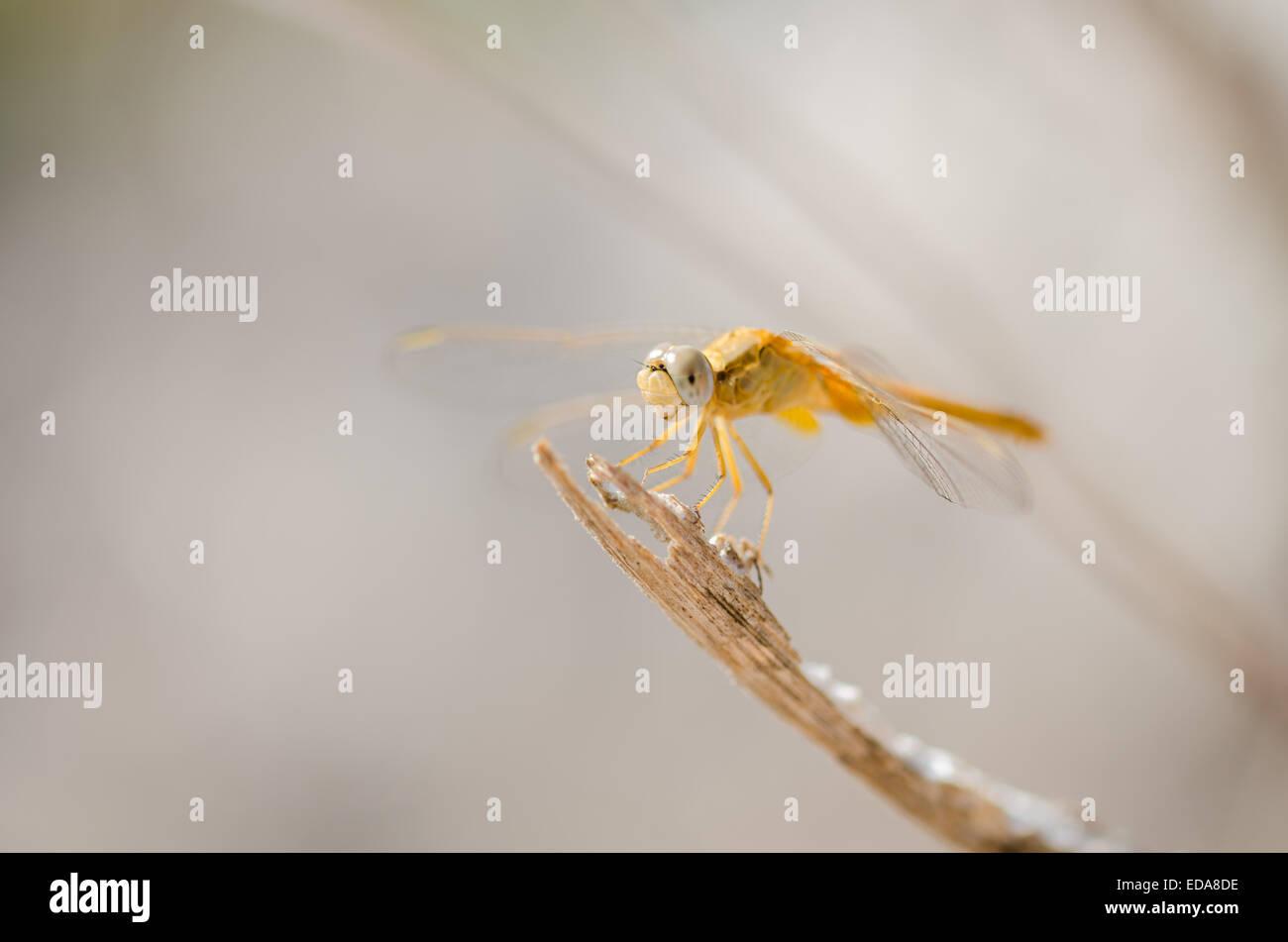 Female Scarlet darter dragonfly (Crocothemis erythraea) resting on a stick. Stock Photo