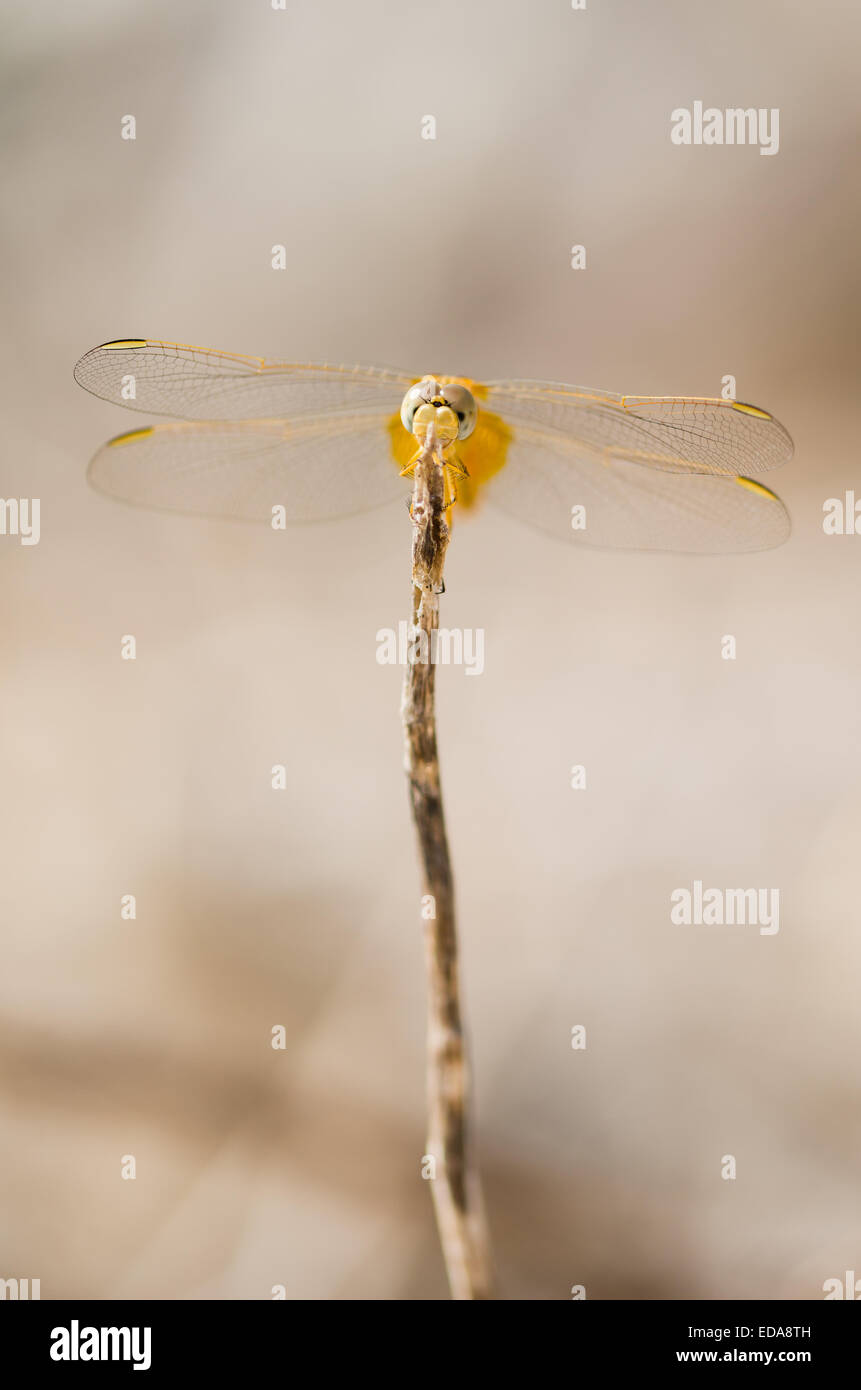 Female Scarlet darter dragonfly (Crocothemis erythraea) resting on a stick. Stock Photo