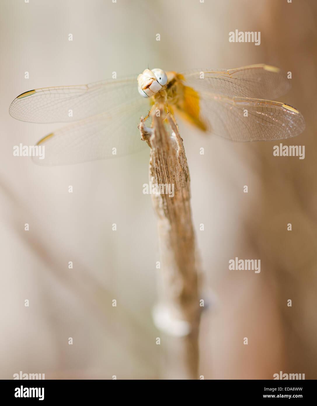 Female Scarlet darter dragonfly (Crocothemis erythraea) resting on a stick Stock Photo