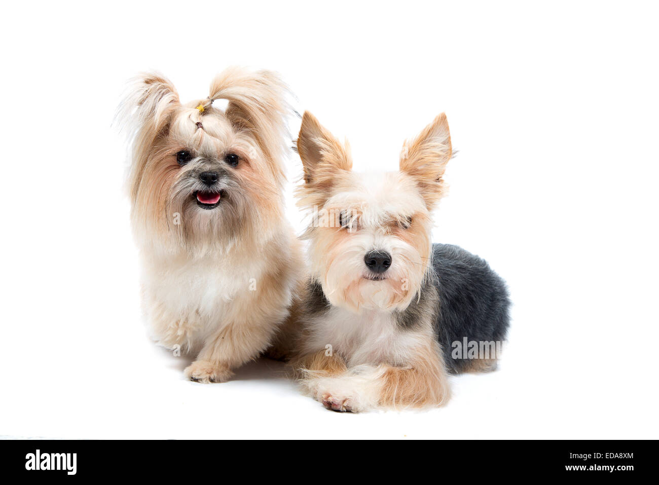 pair cute small dogs isolated on white - Stock Image