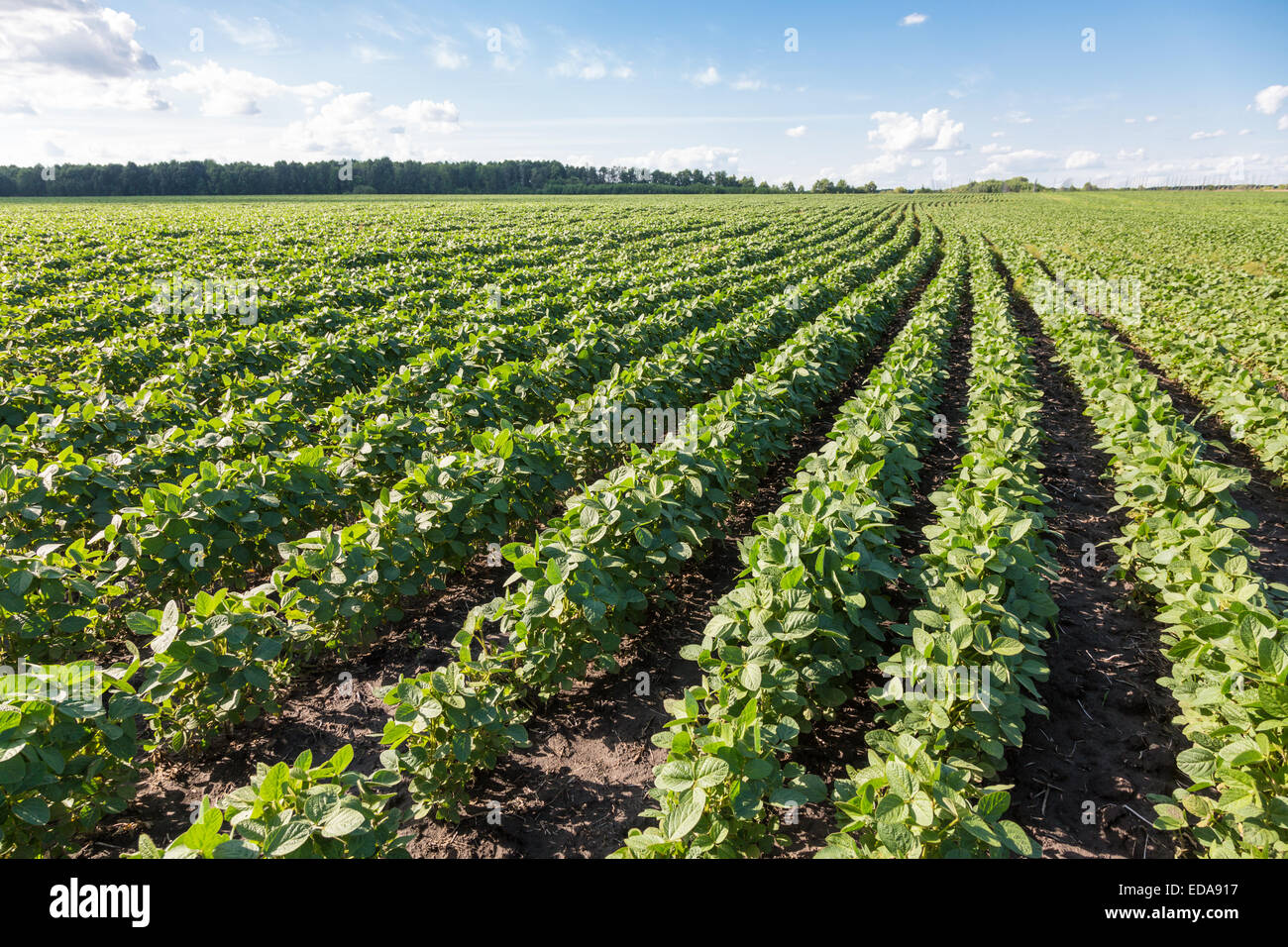rows of young soybean plants in a field stock photo 77058611 alamy