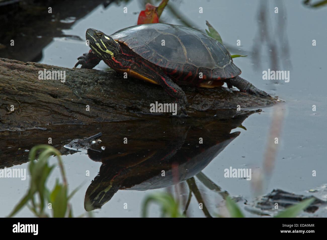 painted turtle (Chrysemys picta), basking, Virginia - Stock Image