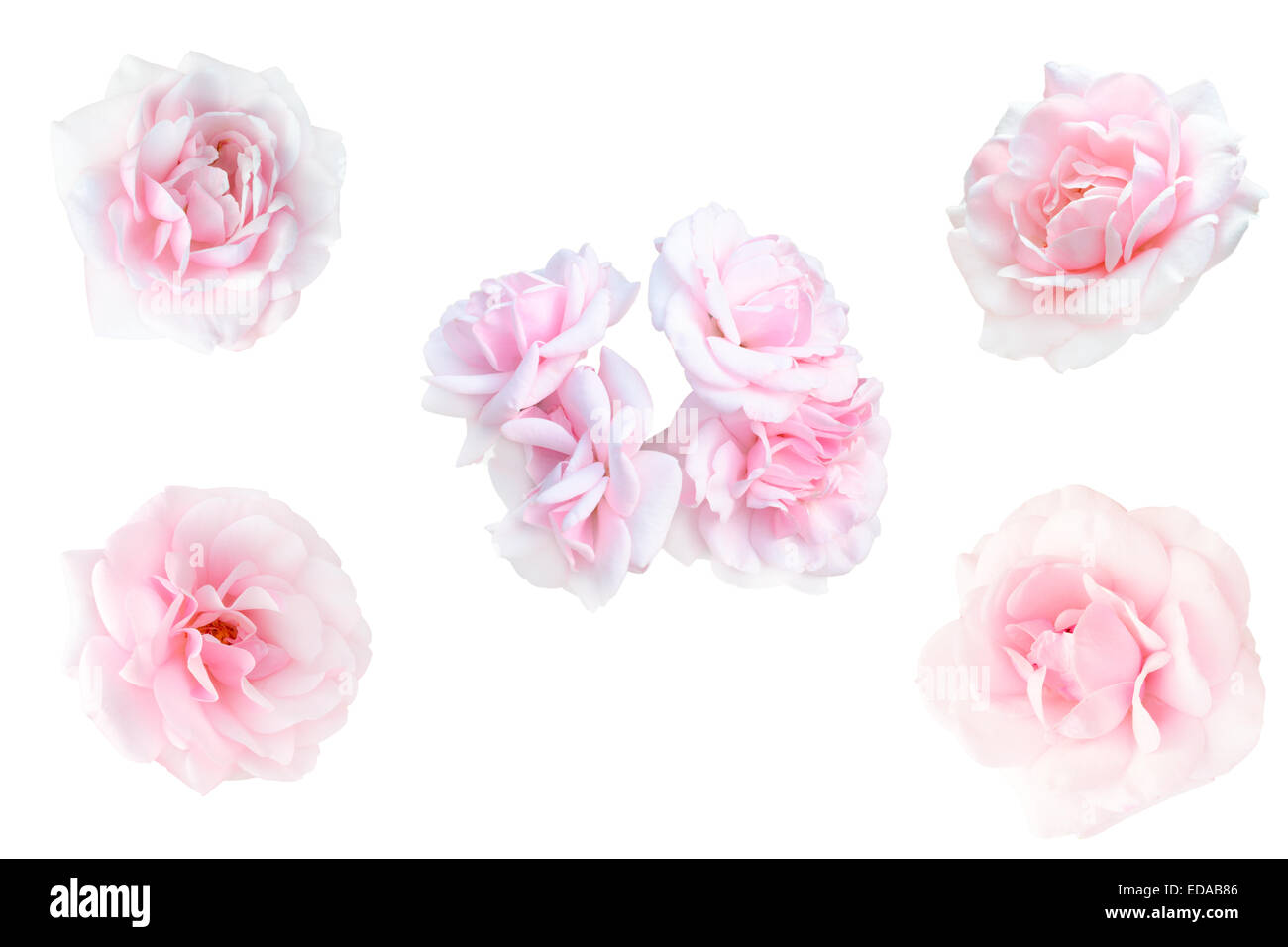 collage of pink roses - Stock Image