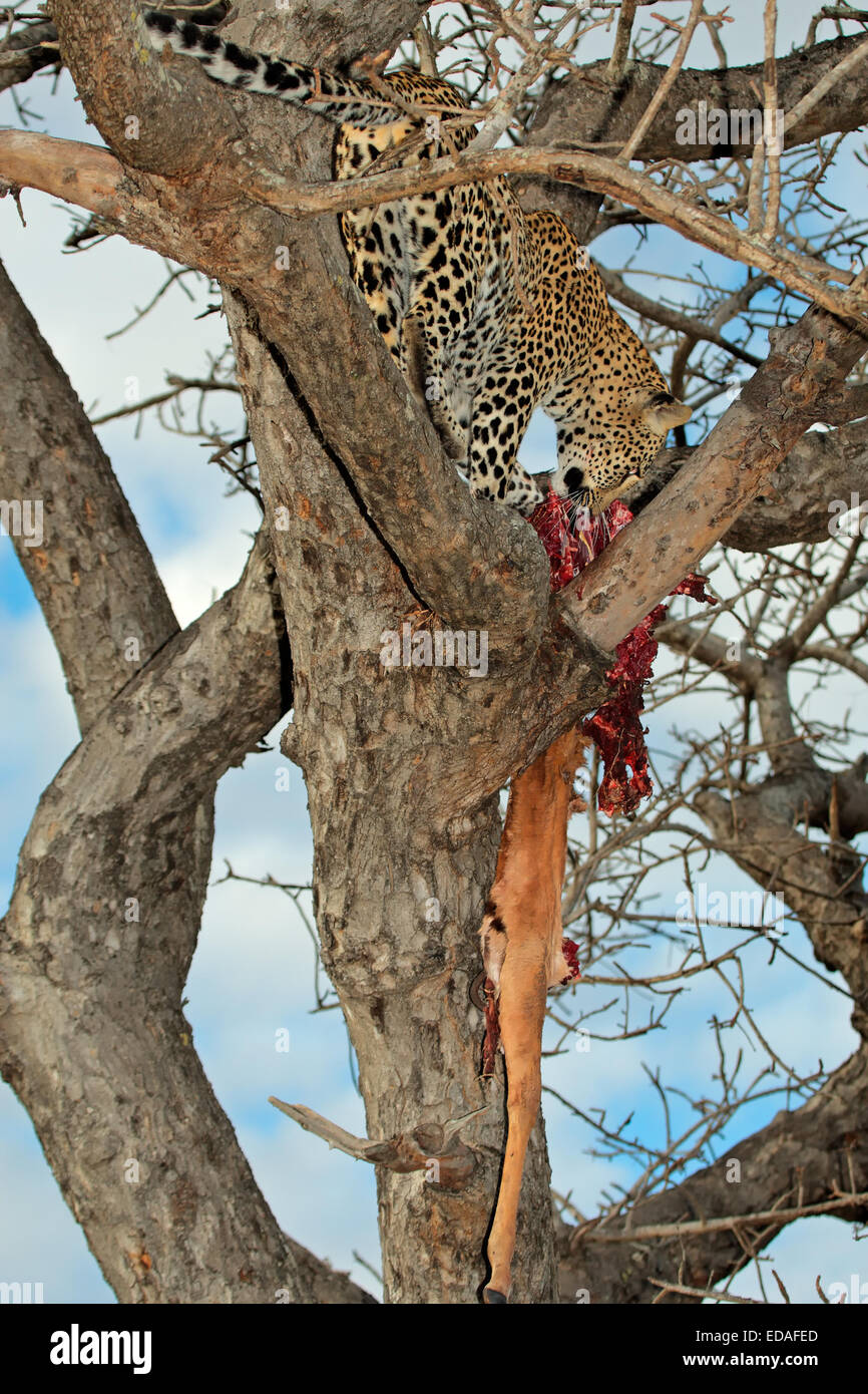A leopard (Panthera pardus) with its impala antelope prey in a tree, Sabie-Sand nature reserve, South Africa - Stock Image