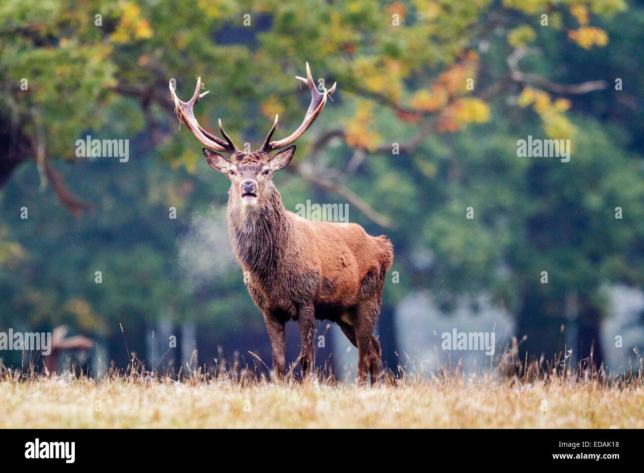 Red deer stag  (cervus elaphus) with hot breath, Windsor Great Park, Berkshire,England,UK - Stock Image
