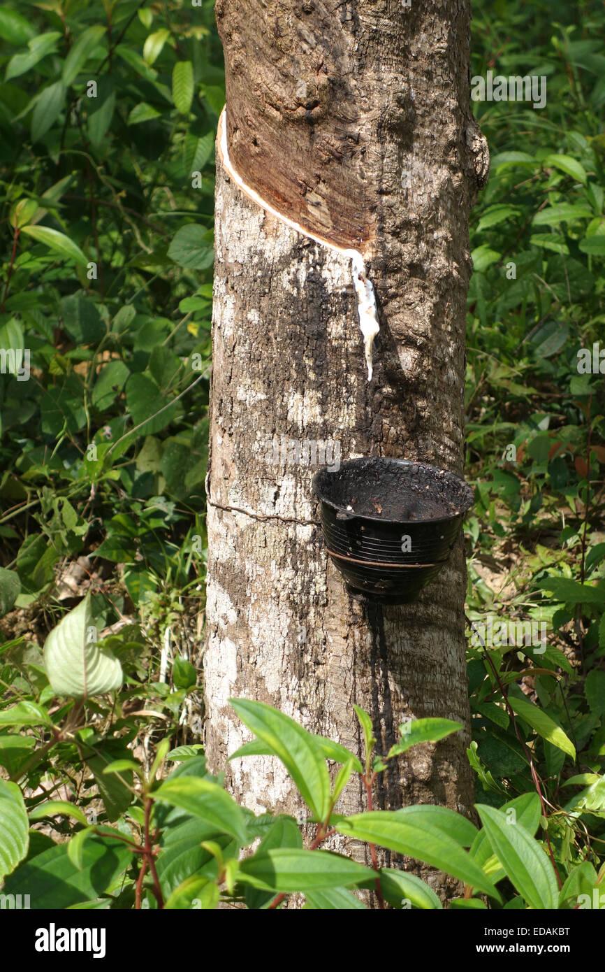 Hevea brasiliensis, rubber tree, sharinga tree, bucket collecting latex, tapping, Koh Lanta Thailand, Southeast - Stock Image
