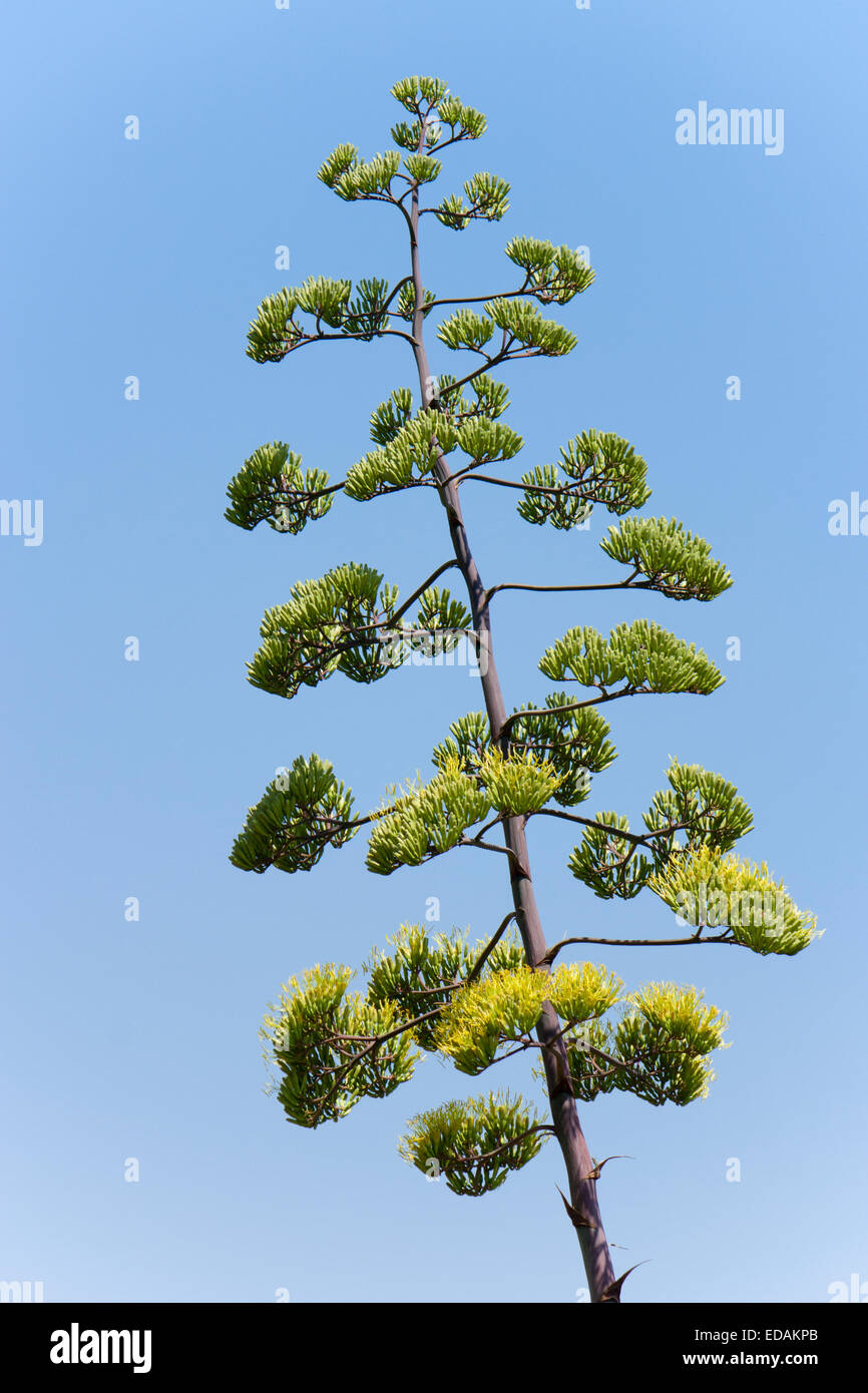 Tall flowering spike of the century plant, Agave americana - Stock Image