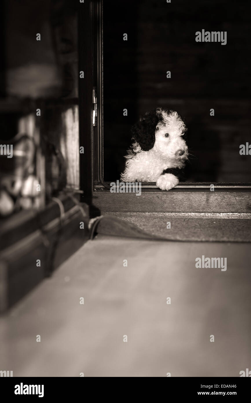 Spanish water dog puppy going outside - Stock Image