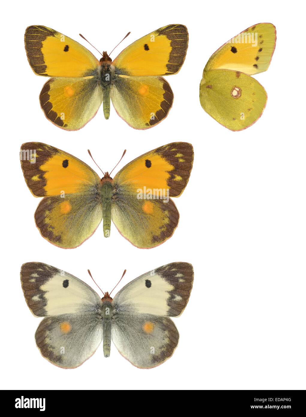 Clouded Yellow - Colias croceus - Male (top) - female - (middle) - female, form helice (bottom). Stock Photo