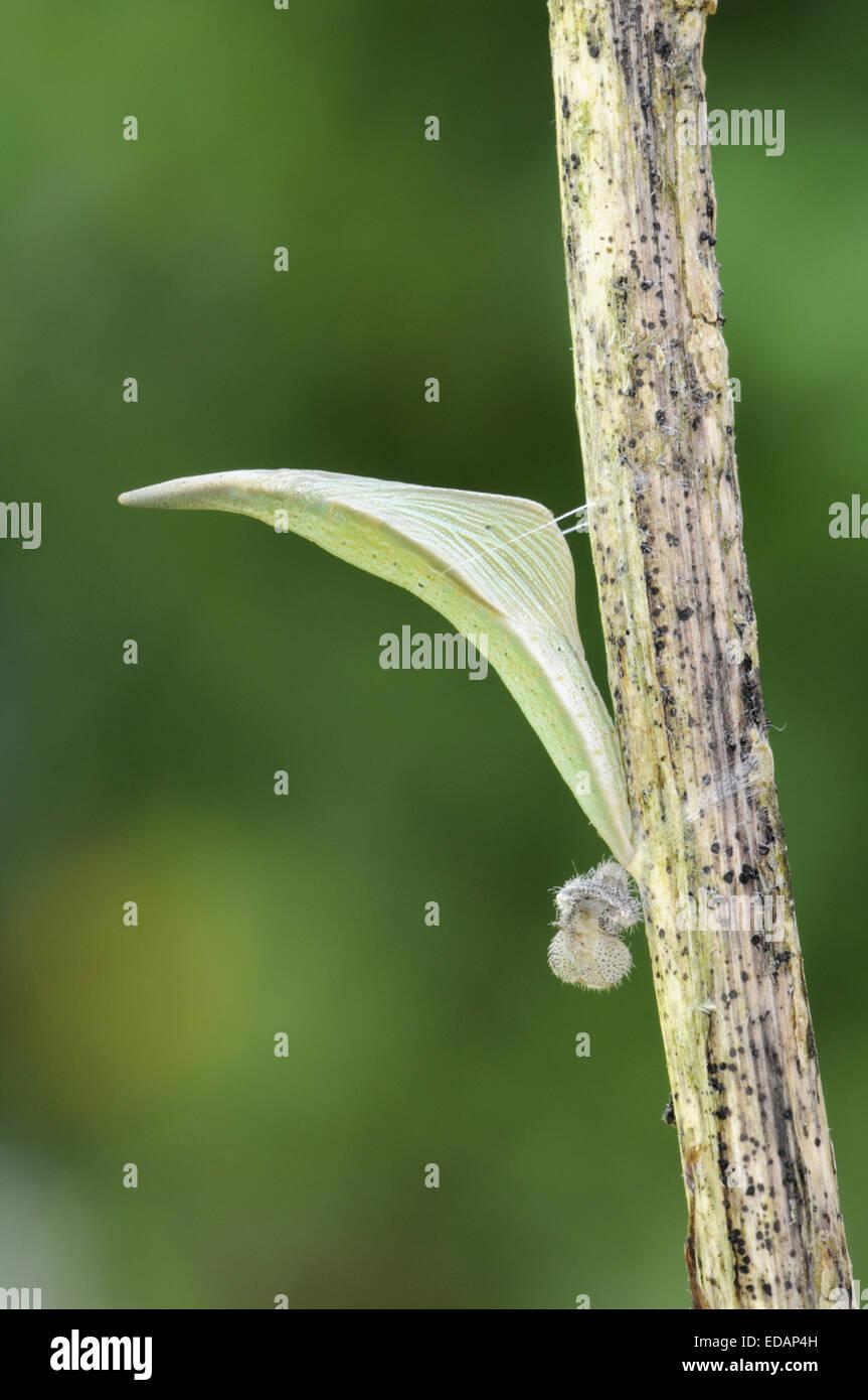 Orange-tip - Anthocharis cardamines - pupa. - Stock Image