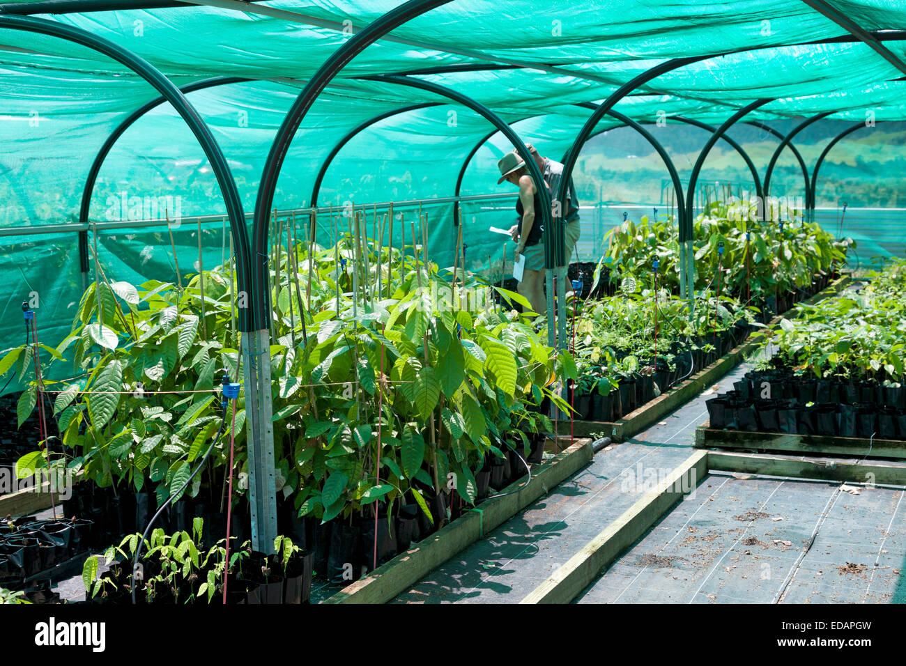 Cocao nursery from the Charley's chocolate factory in Mission Beach Australia - Stock Image