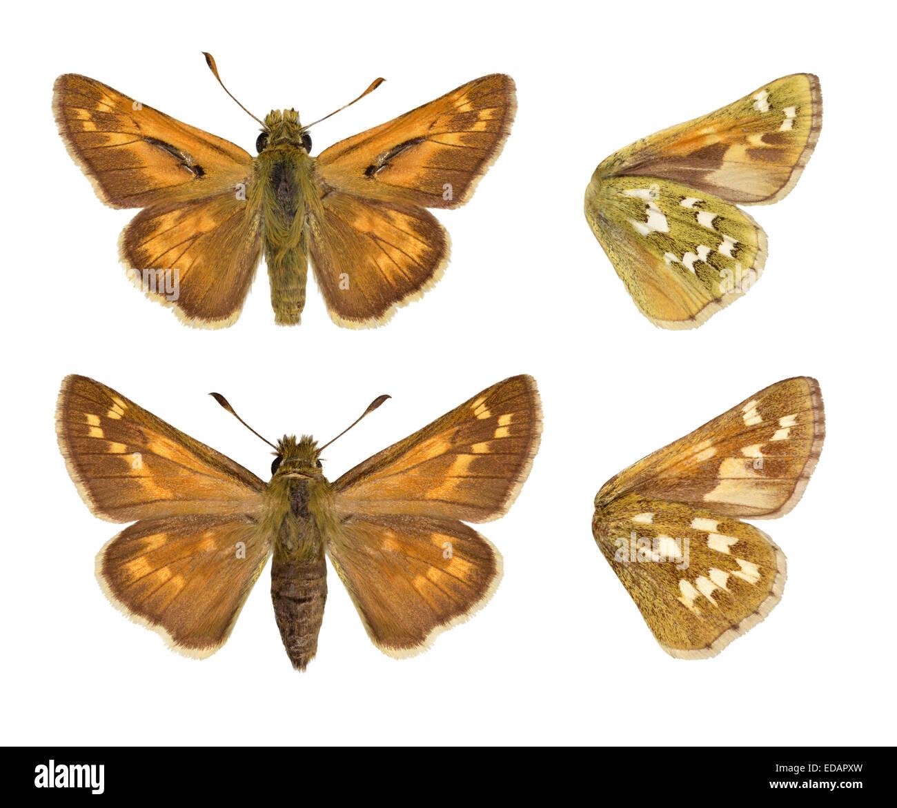 Silver-spotted Skipper - Hesperia comma - (male - top, female - bottom). - Stock Image