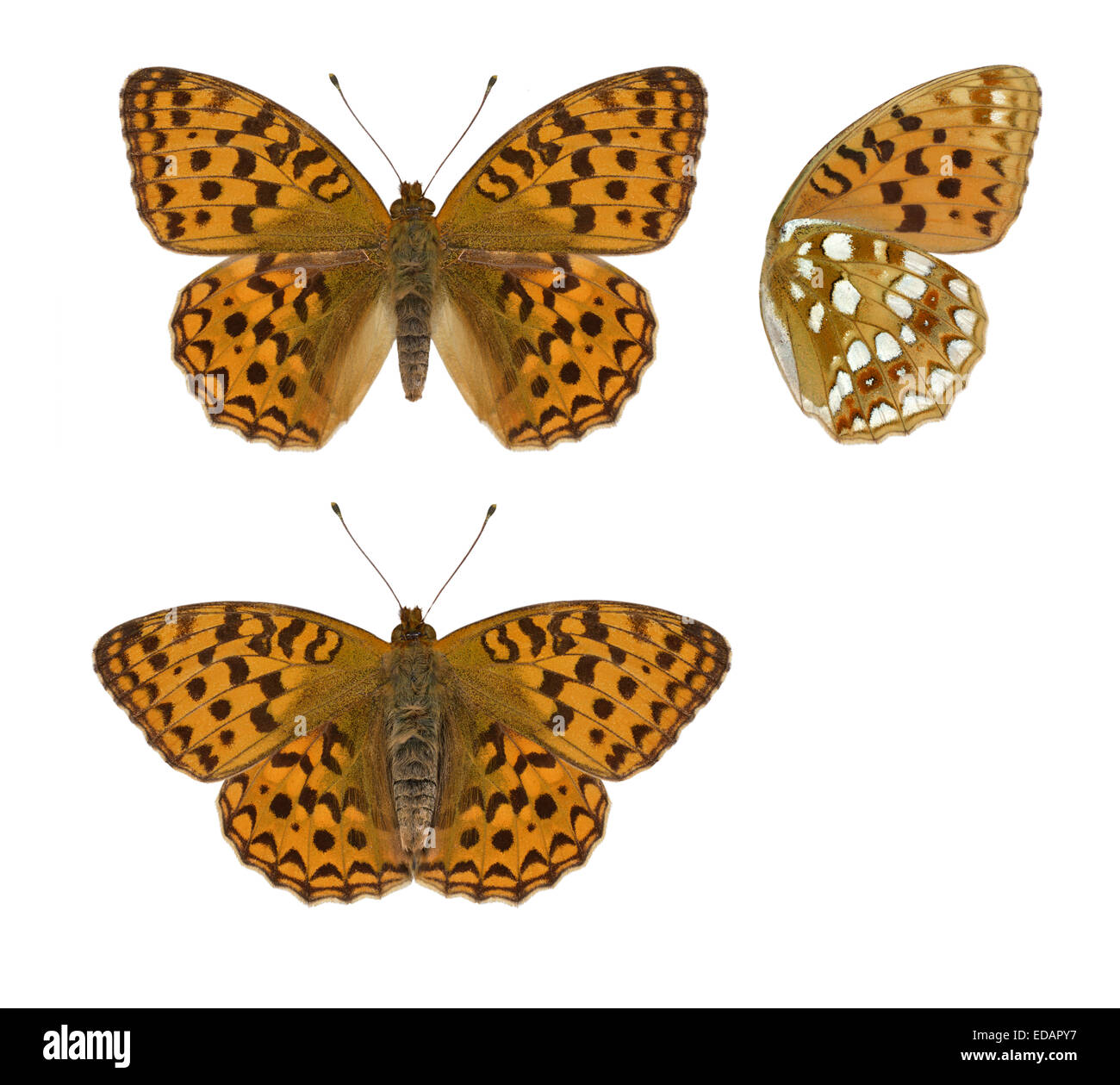 High Brown Fritillary - Argynnis adippe - Stock Image