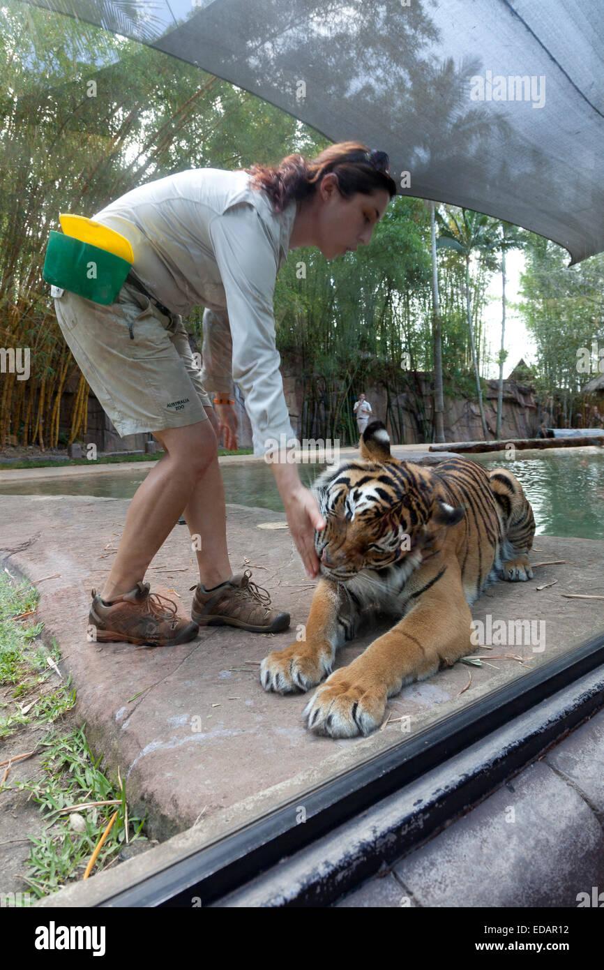 Tiger in the Australian Zoo, Beerwah,Australia - Stock Image