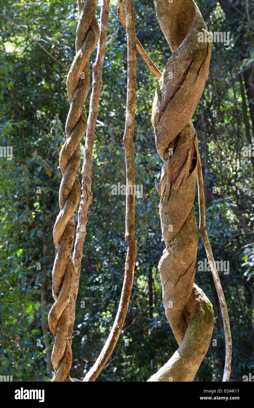 Tangle of lianas in Lamington National Park,Australia - Stock Image