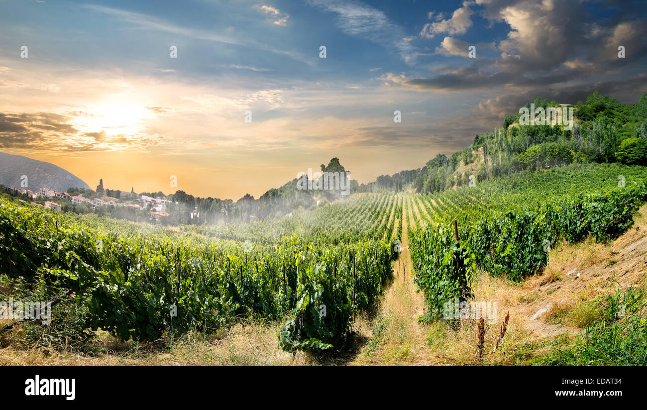 Young vineyard in mountains in the morning Stock Photo