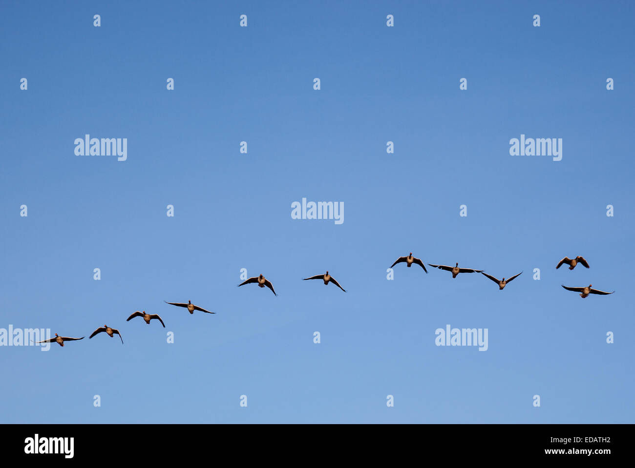 A skein of pink-footed geese flying in the sky - Stock Image