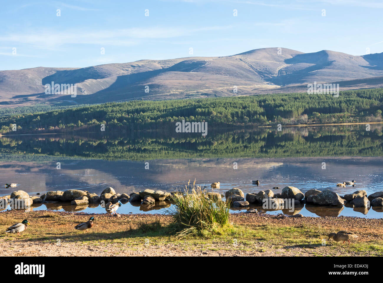 Loch Morlich in the Cairngorms region of Scotland on a calm and sunny autumn day with mountain Cairn Gorm centre - Stock Image